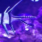 OFI reports on latest CITES meeting & Banggai Cardinalfish