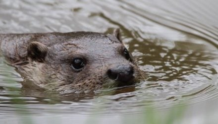 How to protect your garden pond against otters