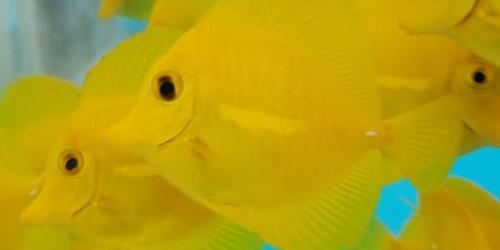 Call for help to support Hawaii ornamental fish industry